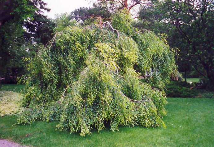 young 39 s weeping birch betula pendula 39 youngii 39 in long island westbury nassau county jericho. Black Bedroom Furniture Sets. Home Design Ideas