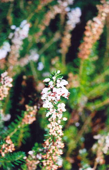 Scotch Heather Calluna Vulgaris At Hicks Nurseries