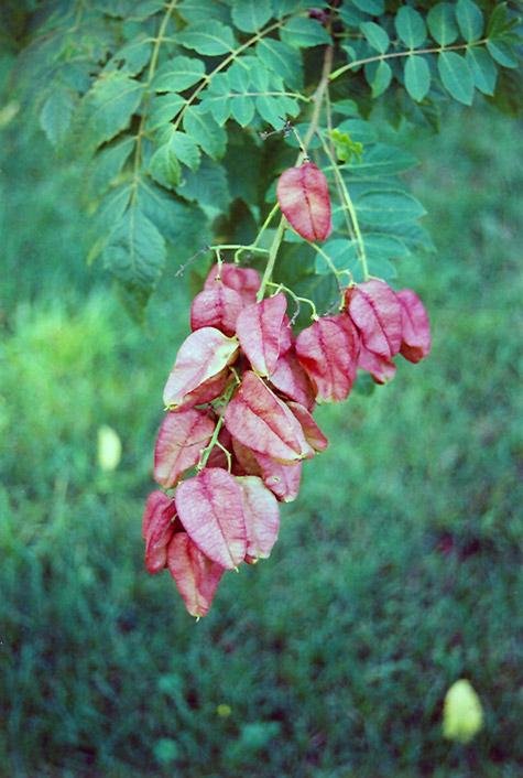 Rose Lantern Golden Rain Tree Koelreuteria Paniculata
