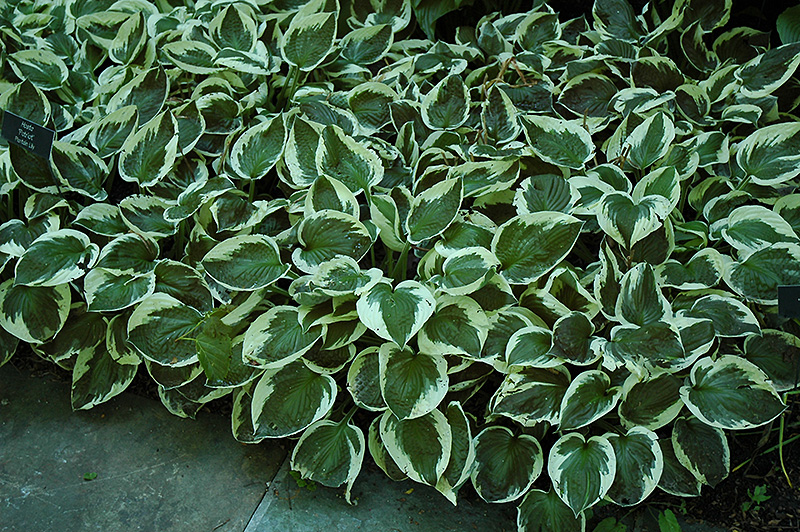 Patriot Hosta (Hosta 'Patriot') at Hicks Nurseries