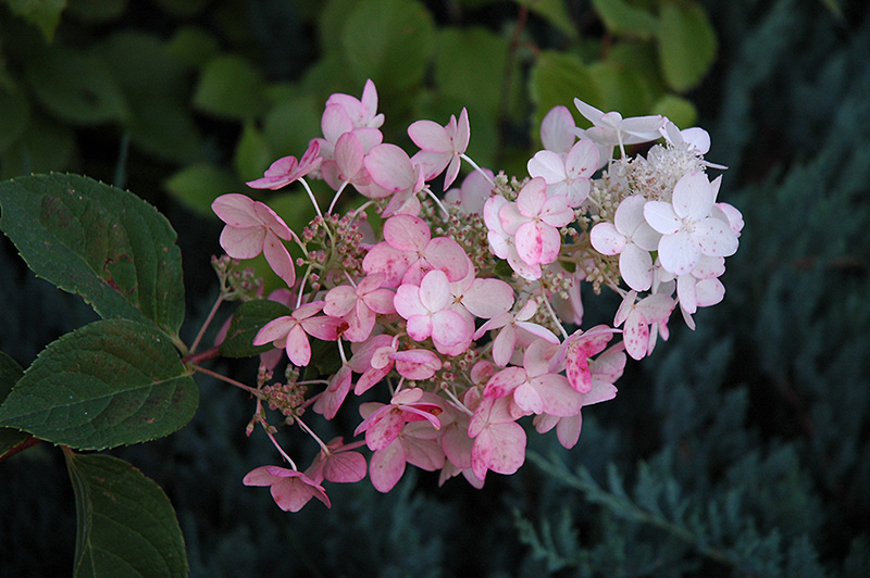 Pink Diamond Hydrangea (Hydrangea paniculata 'Pink Diamond') at Hicks Nurseries