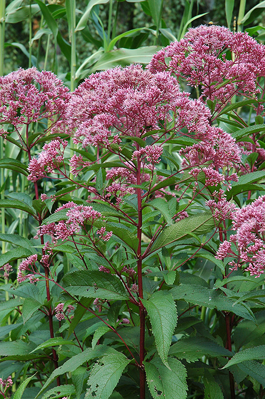 Joe Pye Weed (Eupatorium maculatum) at Hicks Nurseries