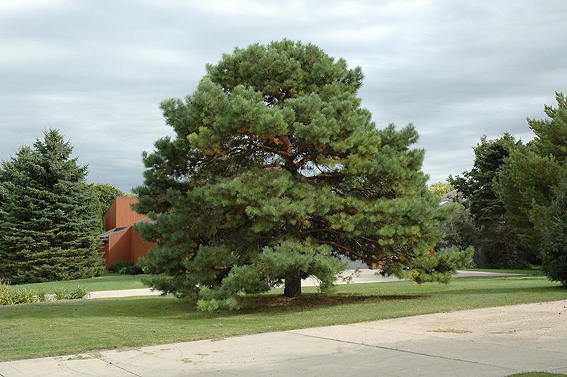 scotch pine pinus sylvestris in long island westbury nassau county