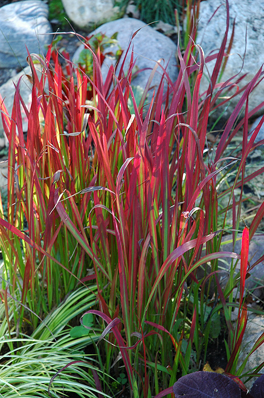 red baron japanese blood grass imperata cylindrica red baron in