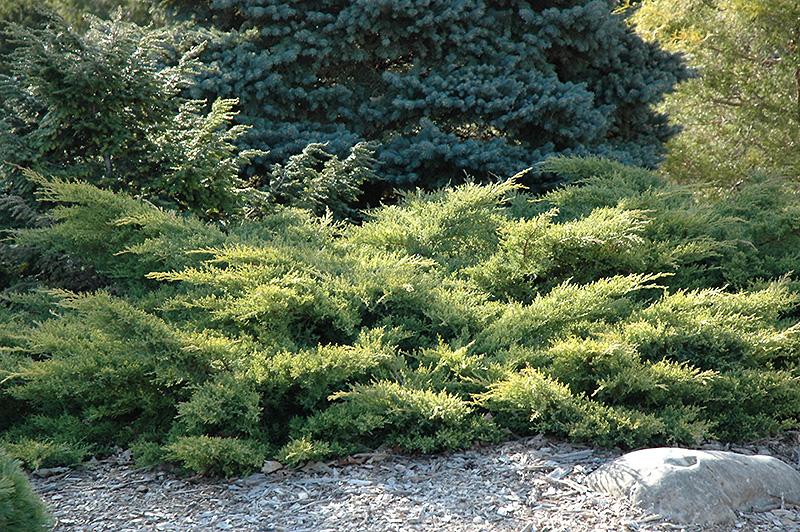 Gold Star Juniper Juniperus Chinensis Bakaurea In Long