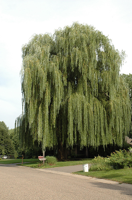 Golden Weeping Willow Salix Alba Tristis In Long