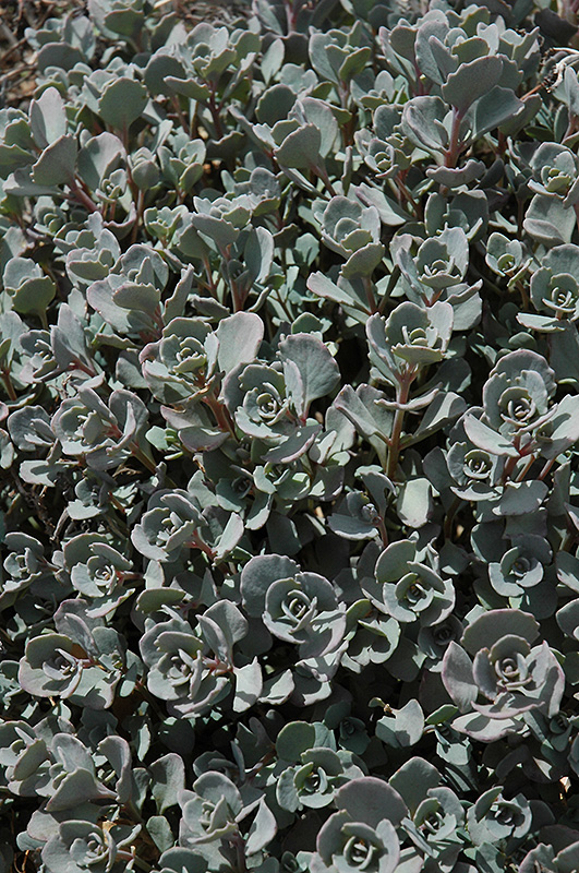 Lidakense Stonecrop (Sedum cauticola 'Lidakense') at Hicks Nurseries
