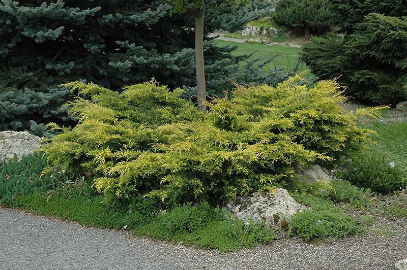Old Gold Juniper Juniperus X Media Old Gold In Long