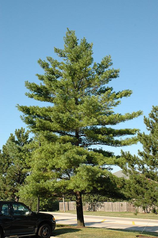 White Pine Pinus Strobus In Long Island Westbury Nassau
