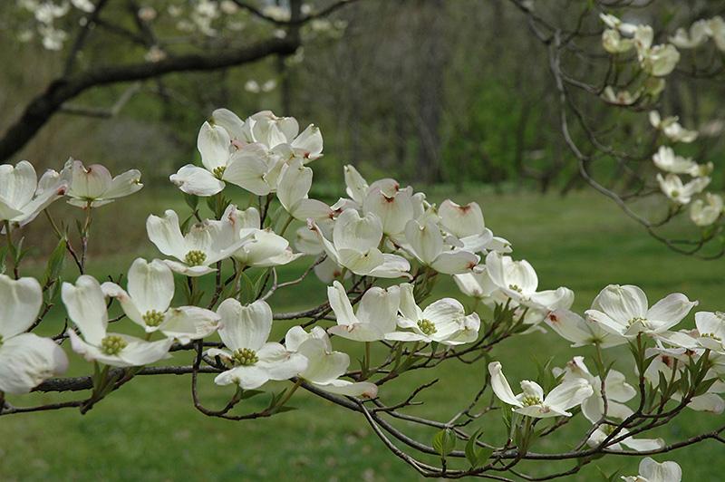first lady flowering dogwood cornus florida 39 first lady. Black Bedroom Furniture Sets. Home Design Ideas
