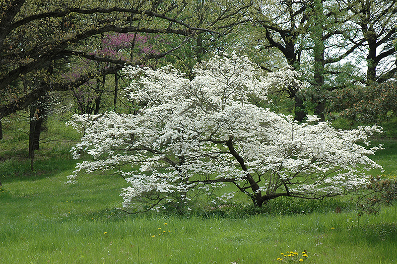 White Cloud Flowering Dogwood Cornus Florida White Cloud