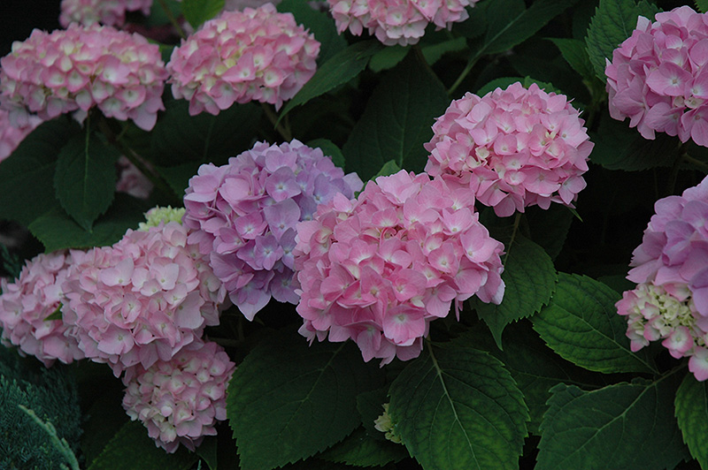 Endless Summer Hydrangea Macrophylla At Hicks Nurseries