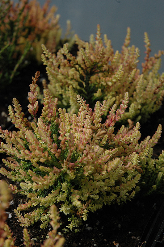 Spring Torch Heather Calluna Vulgaris At Hicks Nurseries