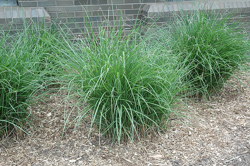 gracillimus maiden grass miscanthus sinensis 39 gracillimus 39 in long island westbury nassau. Black Bedroom Furniture Sets. Home Design Ideas