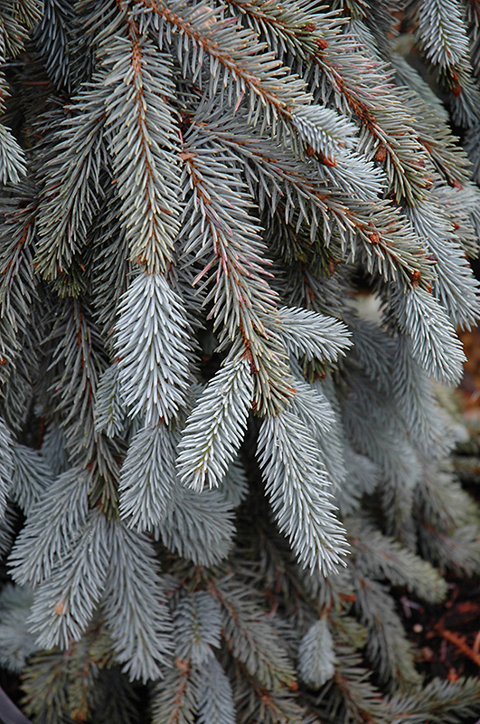 The Blues Colorado Blue Spruce Picea Pungens At Hicks Nurseries