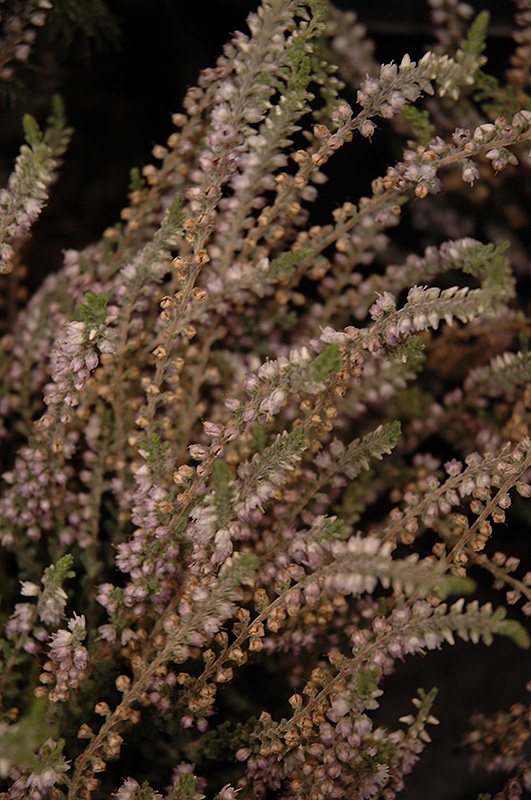 Silver Knight Heather Calluna Vulgaris At Hicks Nurseries