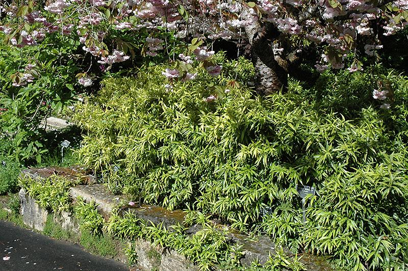 Himalayan Sweet Box Sarcococca Hookeriana In Long Island