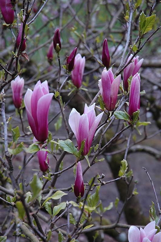 Magnolia liliiflora – Wikipedia