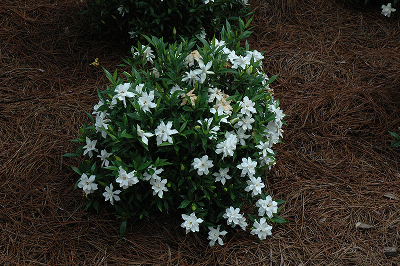 Frost Proof Hardy Gardenia Gardenia Jasminoides Frost
