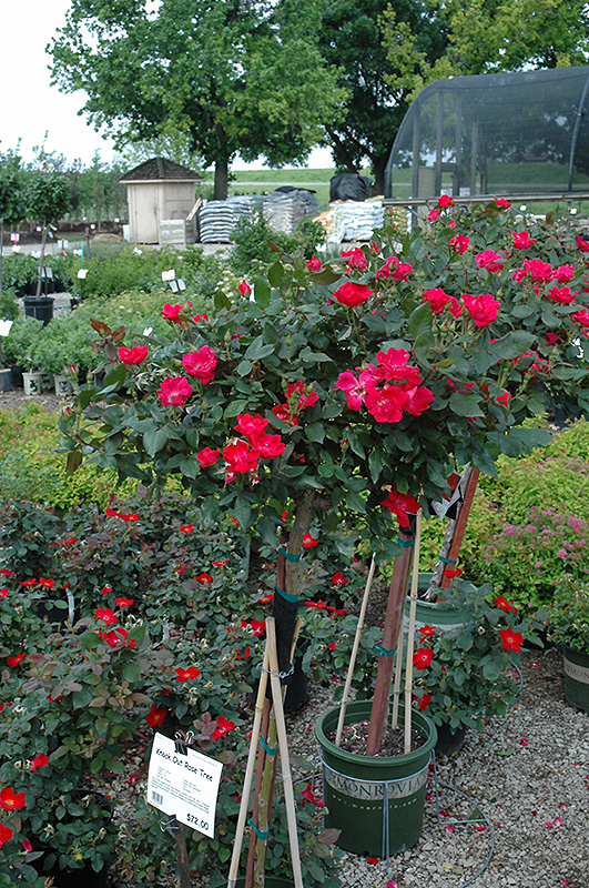 Knock Out Rose Tree Rosa Radrazz At Hicks Nurseries