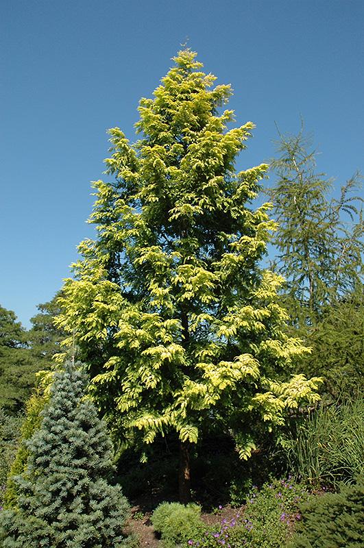 Gold Rush Dawn Redwood (Metasequoia glyptostroboides u0026#39;Ogonu0026#39;) in Long Island Westbury Nassau ...