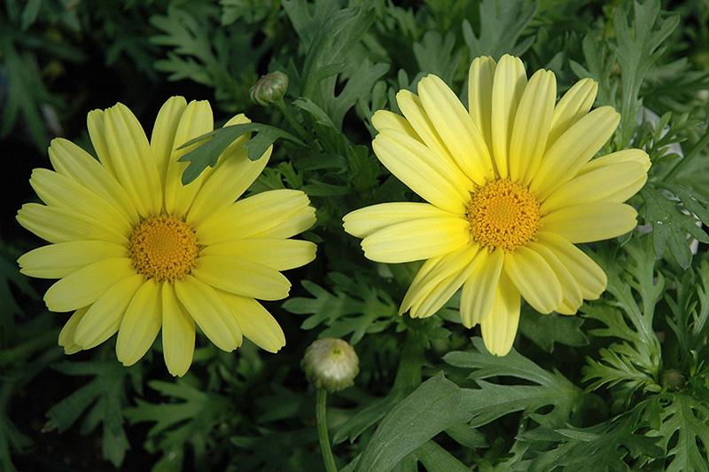 Elsa White Marguerite Daisy Argyranthemum Frutescens