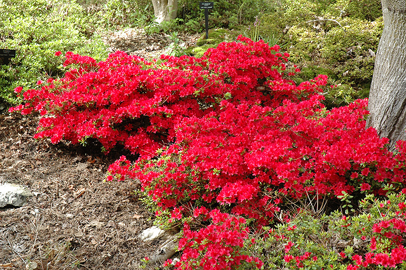 Hino Crimson Azalea Rhododendron At Hicks Nurseries