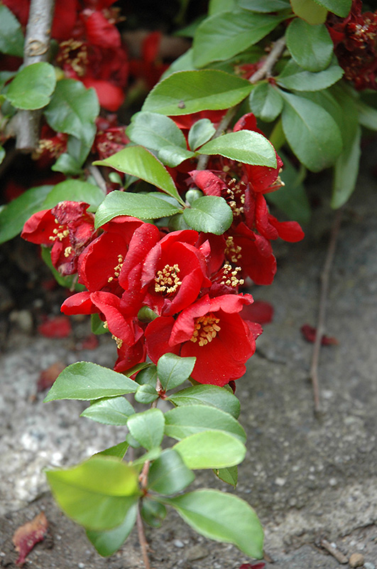 Crimson And Gold Flowering Quince Chaenomeles X Superba