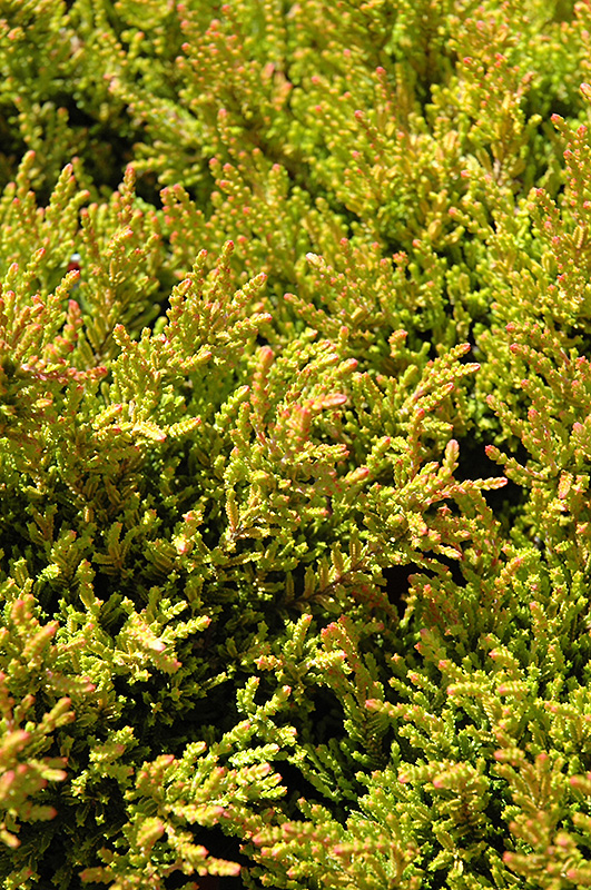 Winter Chocolate Heather Calluna Vulgaris At Hicks Nurseries