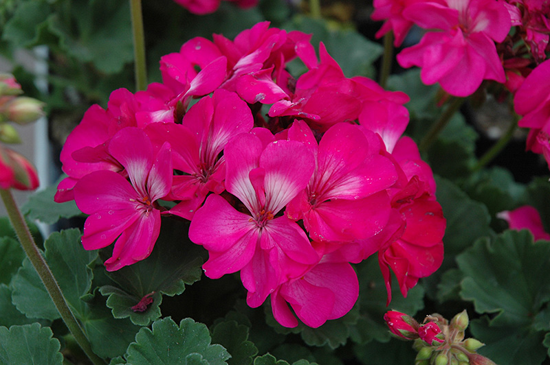 Tango hot pink geranium pelargonium tango hot pink in long tango hot pink geranium pelargonium tango hot pink at hicks nurseries mightylinksfo