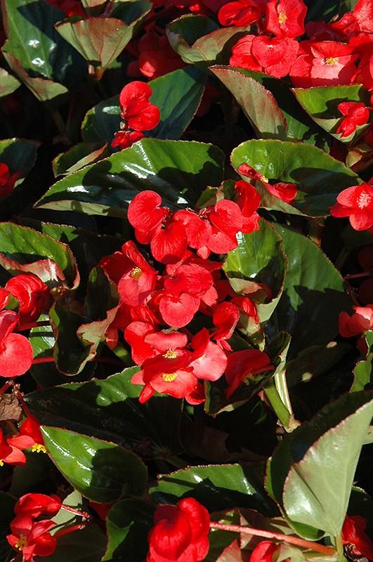 Whopper 174 Red Green Leaf Begonia Begonia Whopper Red