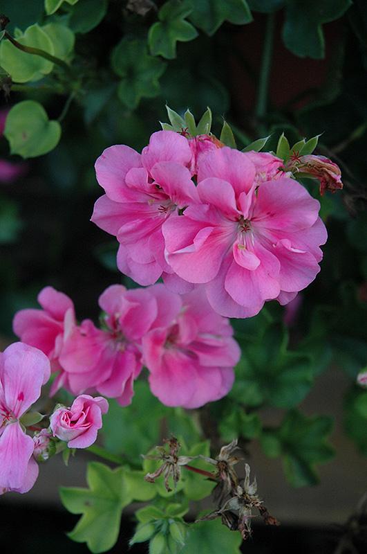 Precision Light Pink Ivy Leaf Geranium (Pelargonium ...