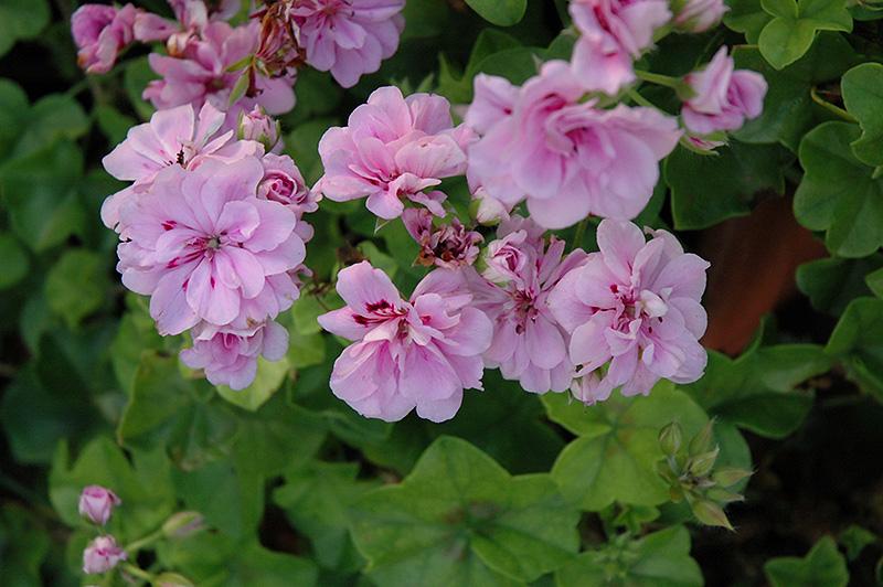 Royal Lavender Ivy Leaf Geranium (Pelargonium peltatum ...