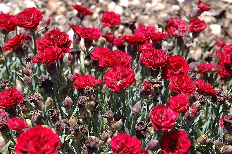 Supertrouper Erfly Dark Red Carnation Dianthus Caryophyllus