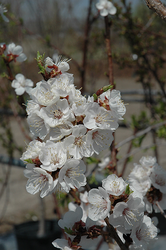 Sungold Apricot (Prunus 'Sungold') at Hicks Nurseries