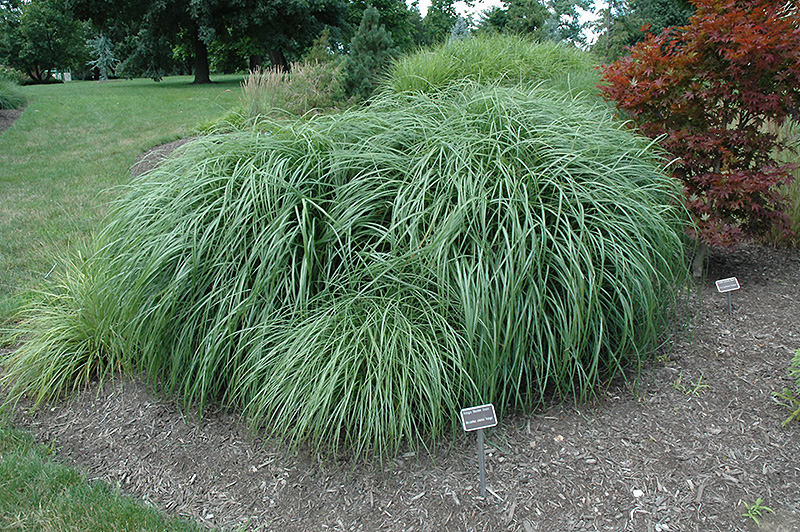 Adagio maiden grass miscanthus sinensis 39 adagio 39 in long for Adagio new york