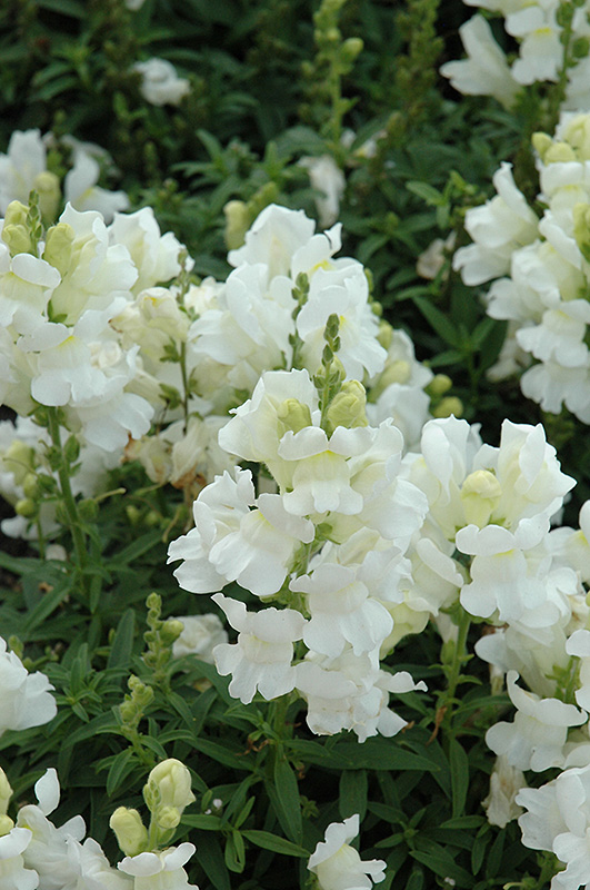 Speedy sonnet white snapdragon antirrhinum majus speedy sonnet speedy sonnet white snapdragon antirrhinum majus speedy sonnet white at hicks nurseries mightylinksfo