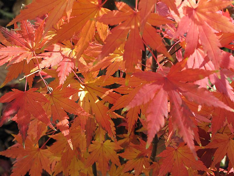Orange Dream Anese Maple Acer Palmatum At Hicks Nurseries