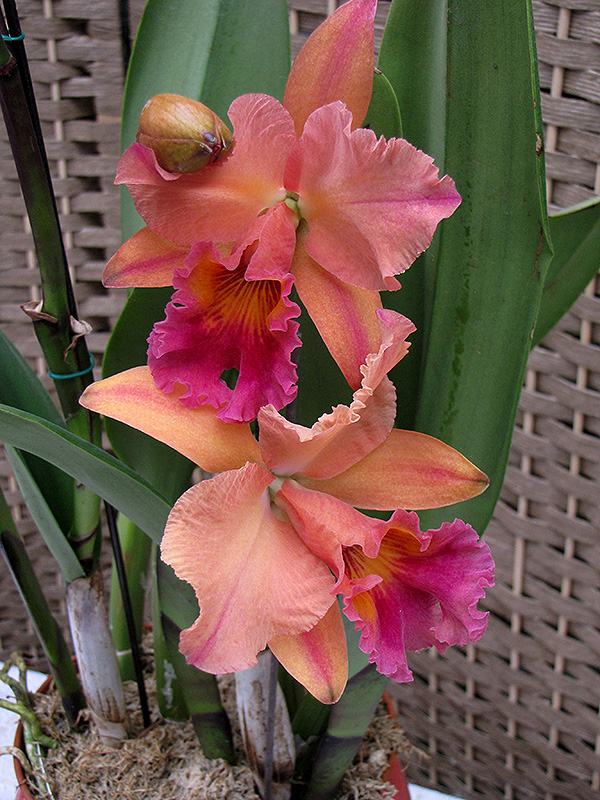 York Cattleya Orchid Cattleya York In Long Island