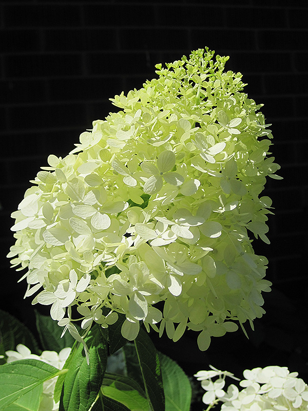 Limelight Hydrangea Paniculata At Hicks Nurseries