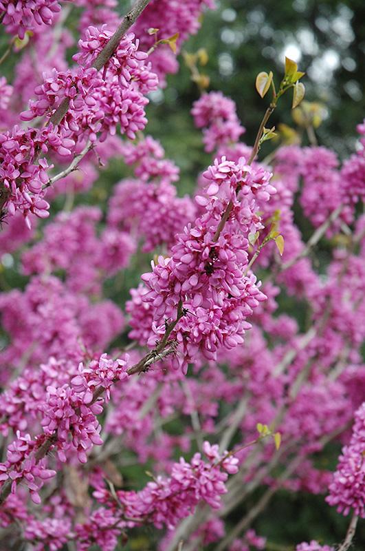Avondale Redbud Cercis Chinensis Avondale In Long