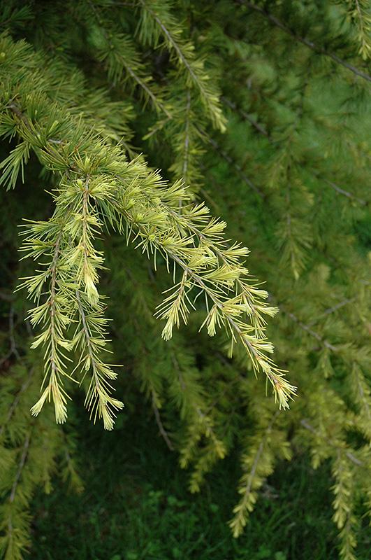 Gold Cone Deodar Cedar Cedrus Deodara Gold Cone In