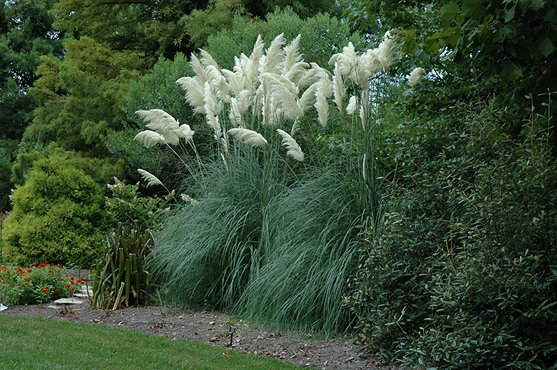 Pampas Gr Cortaderia Oana At Hicks Nurseries