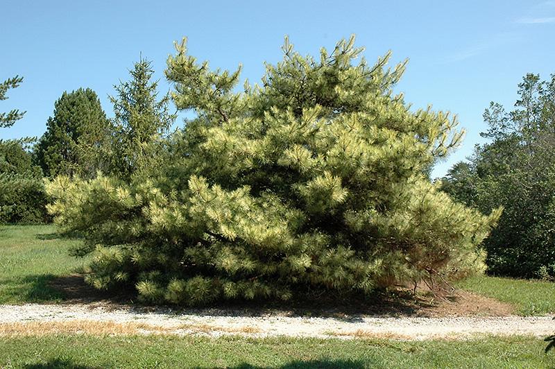 Dragon S Eye Japanese Red Pine Pinus Densiflora Oculus
