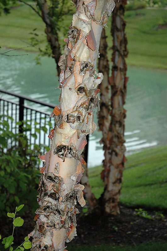 River Birch (Betula nigra) at Hicks Nurseries