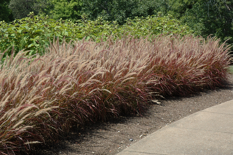 purple fountain grass pennisetum setaceum 39 rubrum 39 in