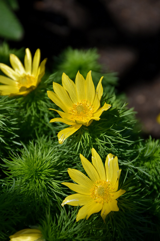 Spring Adonis Adonis Vernalis In Long Island Westbury