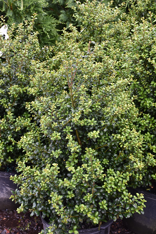 Chesapeake Japanese Holly Ilex Crenata Chesapeake In