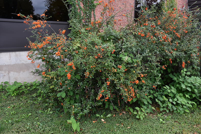 Scarlet Firethorn Pyracantha Coccinea In Long Island