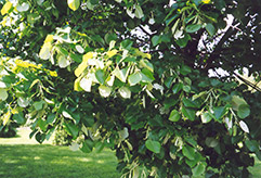 Silver Linden (Tilia tomentosa) at Hicks Nurseries